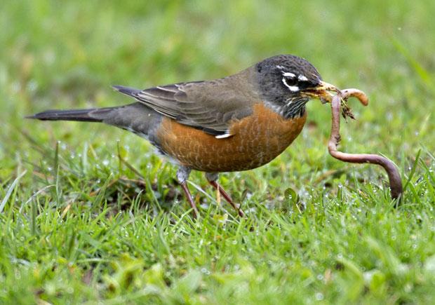 38371-bird2band2bworm
